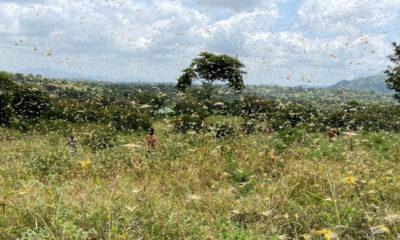 AfDB Desert Locusts
