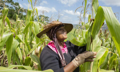 FAO moves to scale up response to Fall Armyworm as pest continues to spread Brandnewsday