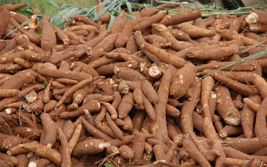 https://brandnewsday.com, cassavabenefits,cassavaleaves,cassavaflour,cassavarecipes, cassavapoison, importance ofcassavato man,cassavapronunciation,cassavaplant, cassava production in nigeria2019,cassava production in nigeria2020, cassava production in nigeria2021, cassava production in nigeriapdf, cassava production in nigeria2018, price ofcassavaper tonin nigeria2020, challenges of cassava production in nigeria, cassava yield per hectare in nigeria, cassava production pdf